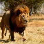 Bir erkek aslan yönetimi ele geçirince tüm yavru aslanları infaz eder.