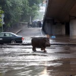 Gürcistan'da yaşanan sel felaketi sonrası aslan, kaplan, jaguar ve hipopotam gibi vahşi hayvanlar şehir sokaklarında dağılmış durumda. Bazı hayvanlar yakalanabilirken, bazı hayvanlar da ekipler tarafından vuruluyor. Görevliler köprü altındaki hipopotamı yakalamaya çalışırken görülüyor. Fotoğrafçı: BESO GULASHVILI Yer: Tiflis / Gürcistan Tarih: 14 Haziran 2015