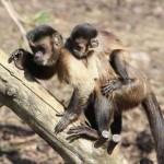 Maymunlar her yıl uçak kazalarından daha fazla insan ölümüne neden oluyor.