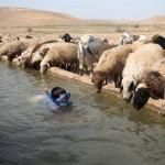 """İsrailli bir çocuk, koyunların su içtiği bir su kanalında şnorkeli ve gözlüğüyle """"dalış"""" yapıyor. Fotoğrafçı: MENAHEM KAHANA Yer: Batı Şeria  Tarih: 8 Nisan 2015"""