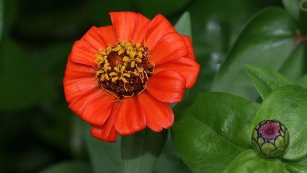 Kirli Hanım Çiçeği-Uzayda yetişen ilk çiçek