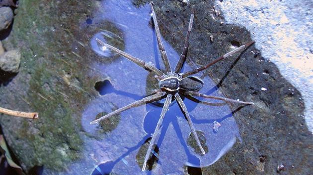 Yeni bir örümcek türü keşfedildi: Su altında nefes alan, kurbağa yiyen örümcek!