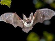 Ölümcül virüslerin nedeni yarasalar mı?